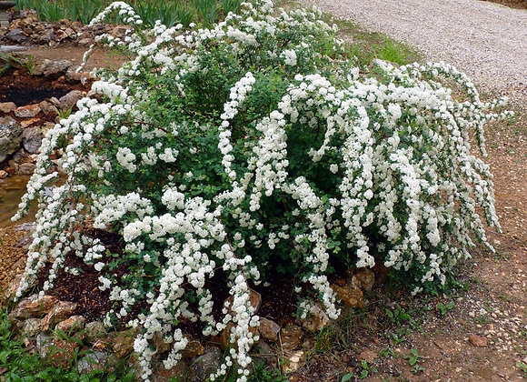Bridal Wreath Spirea