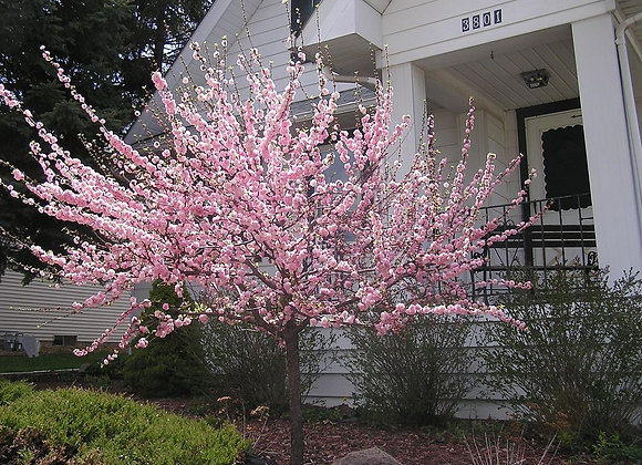 Flowering Almond Standard