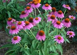 purple coneflower.jfif