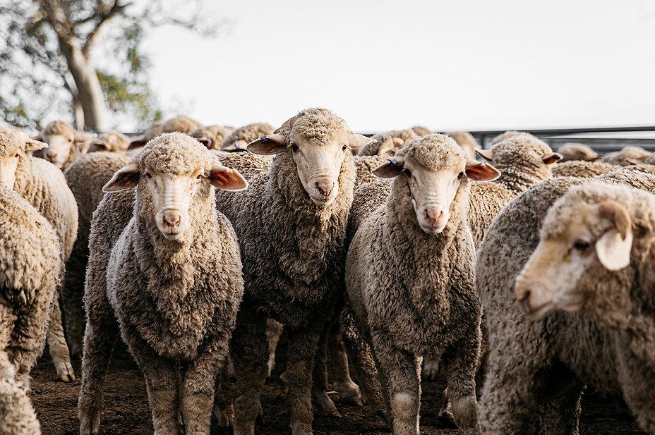 Wool Producers Australia Inklab Lean Tim