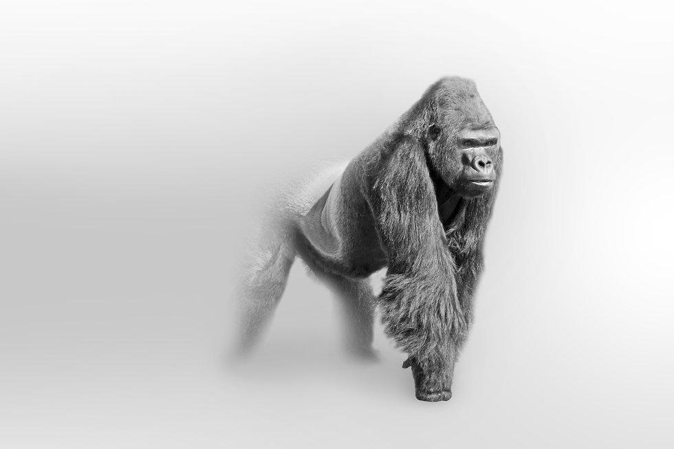 Gorilla wildlife art collection white ed
