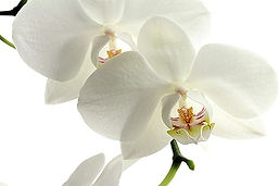 Orchid Header Image