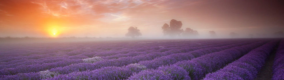 Dr. Jessica C Jones calm sunrise over lavendar fields.