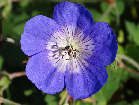 Plant Of The Month - July - Hardy Geraniums