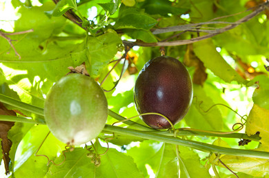Passion Fruit ripening on the vine