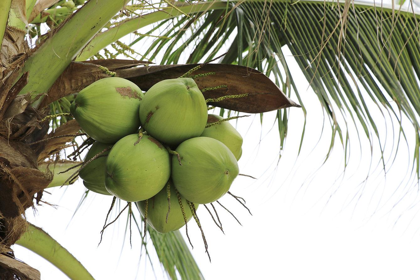 coco tree.jpg