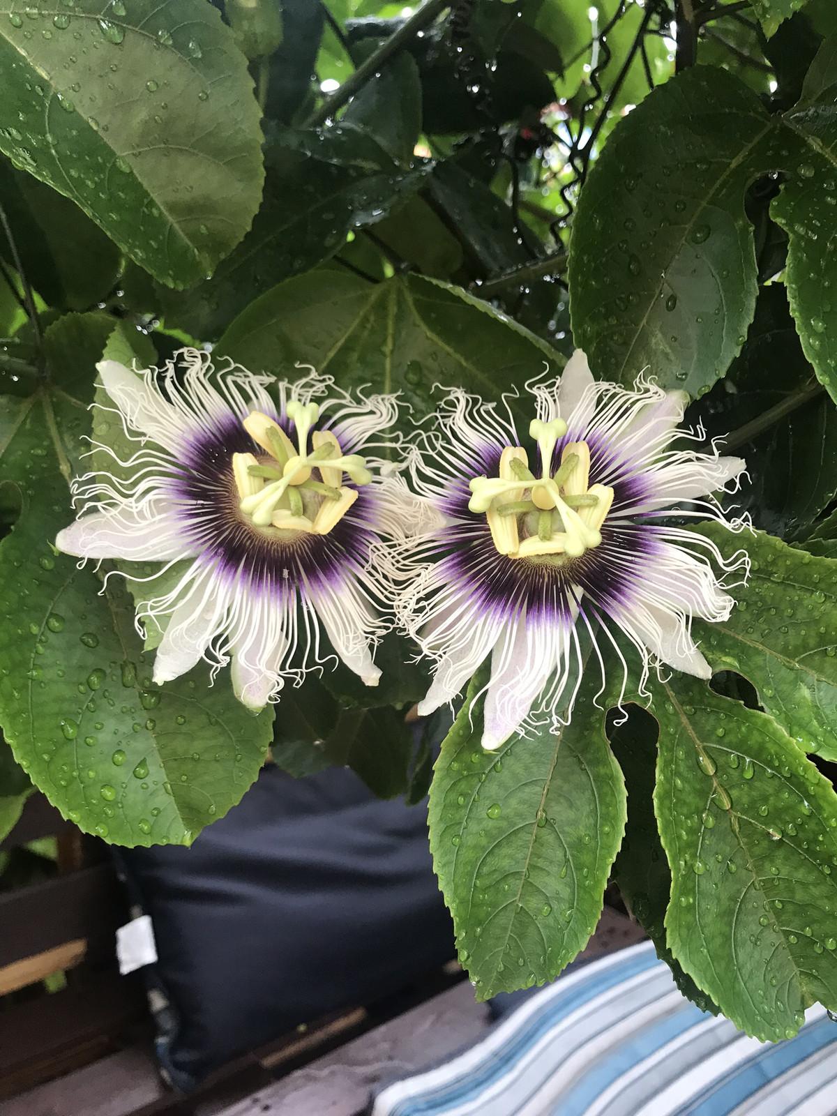 Amazoncom passion flower plants for sale