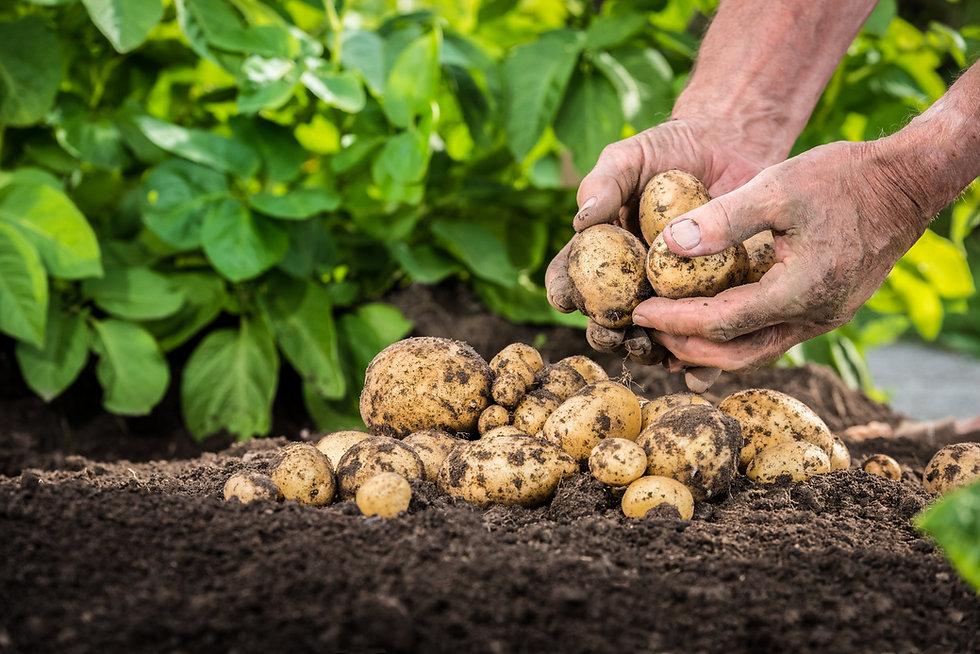 Hands harvesting fresh organic potatoes from soil.jpg
