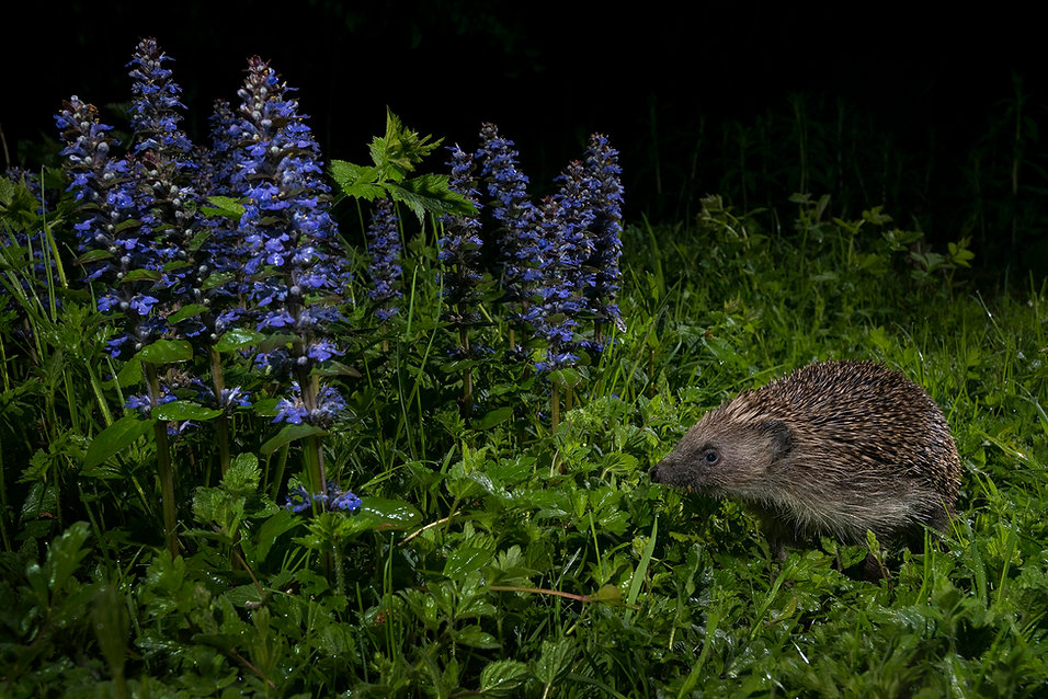 Hedgehog_John Formstone.jpg