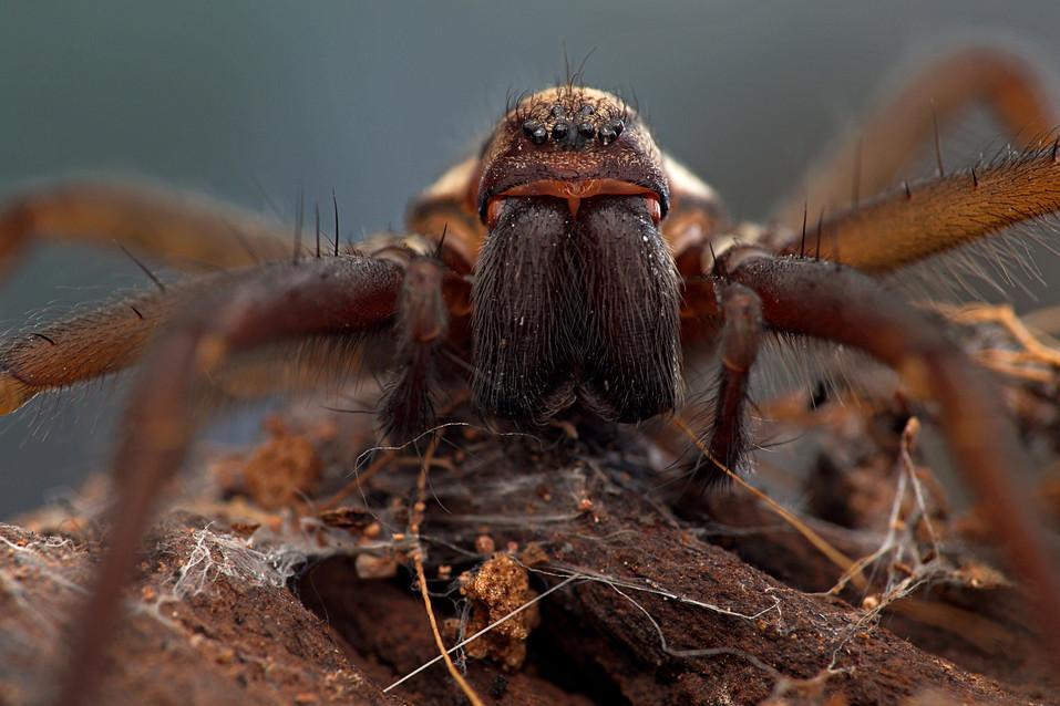 House Spider_Josh Phangurha.jpeg