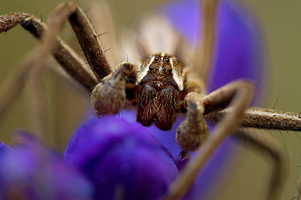 Nursery Web Spider_Josh Phangurha.jpg
