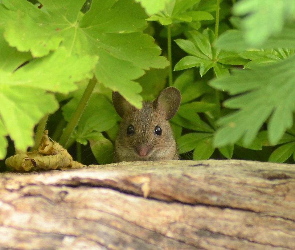 Mouse_william lambourne.JPG