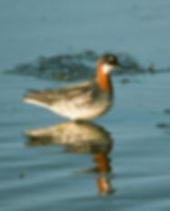Red-necked Phalarope