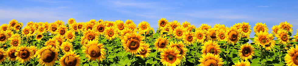 Sunflowers (1).png