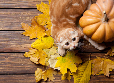 Cats and Nutrition: We Investigate the Power of Pumpkin