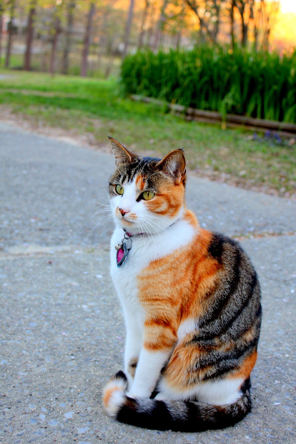 Nala the Kitty sitting in the driveway during the sunrise