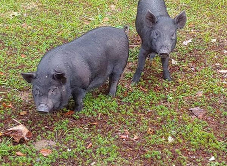 Hogs on the Homestead