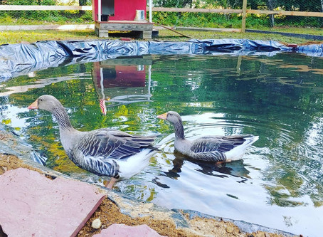 Duck Pond - Part 3: Home on The Range