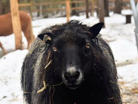 Baa-Baa Black Sheep...