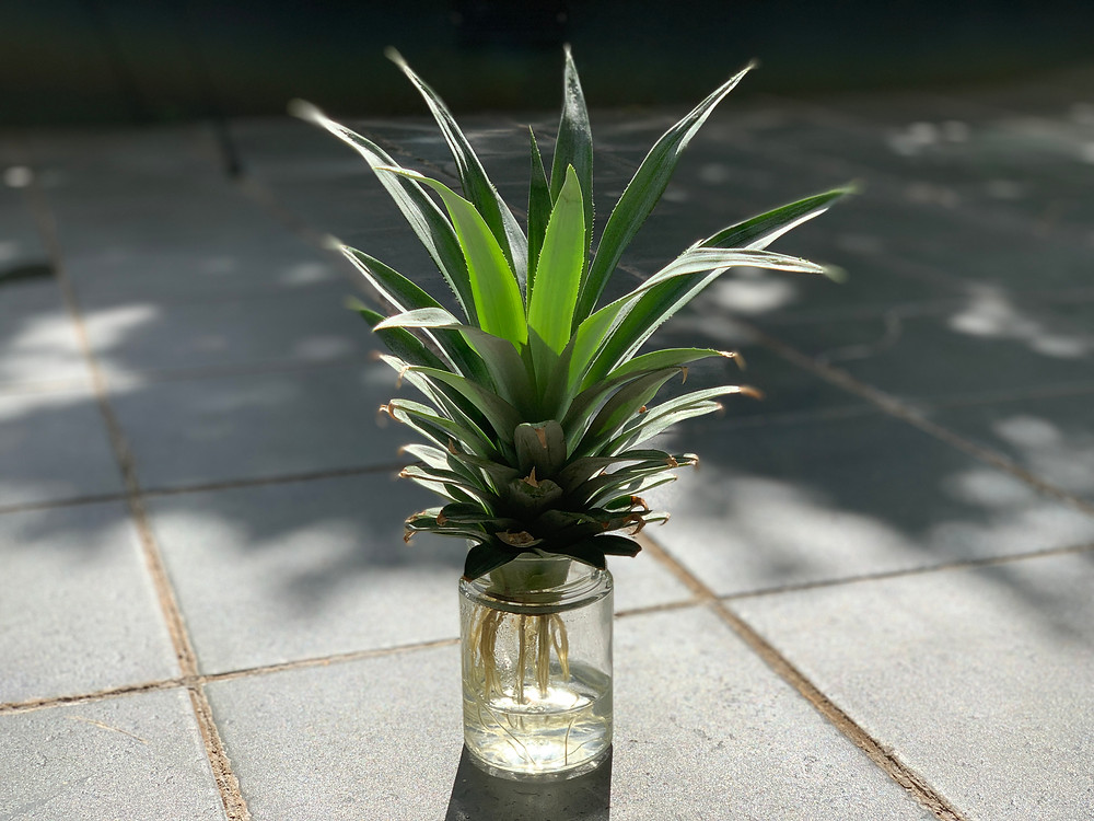 pineapple with roots