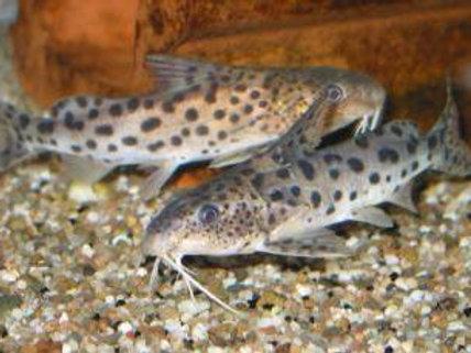 For sale I have some stunning nyassa catfish