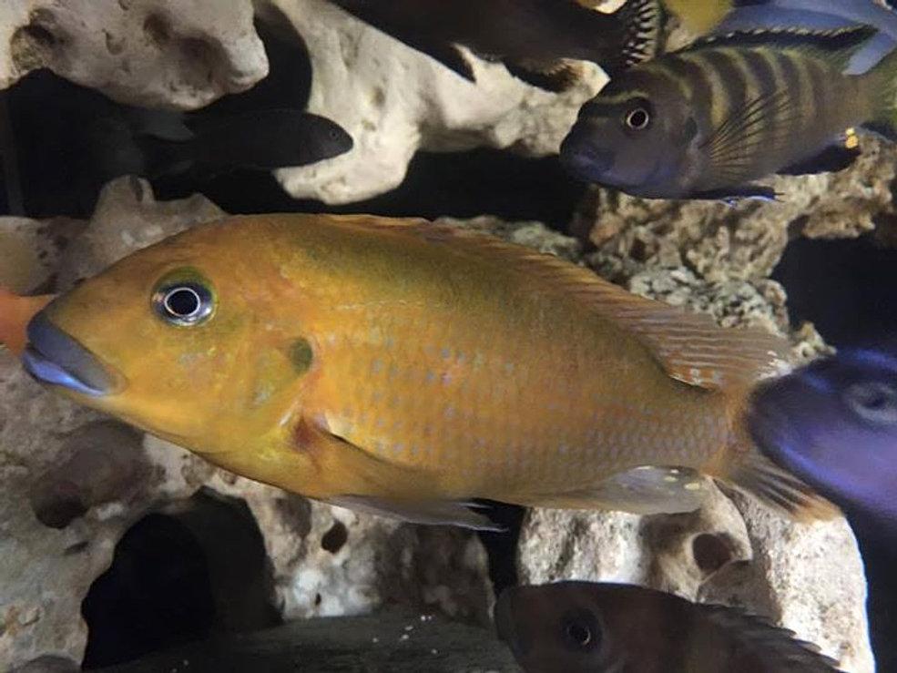 wetpetsmalawifish lake malawi haps and peacocks for sale