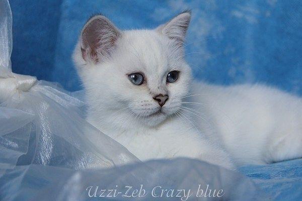 Uzzi - Zeb Crazy Blue*CZ