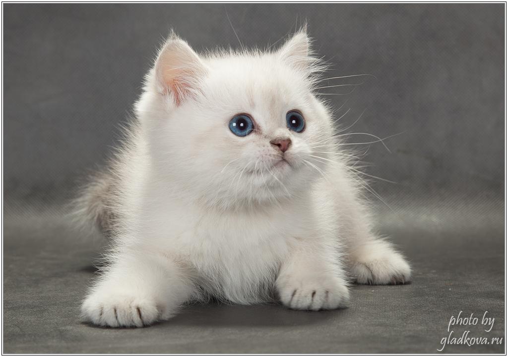 котята питомника Du Soleil