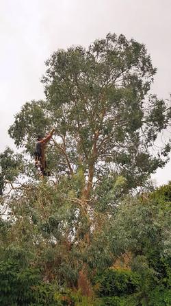 Eucalyptus Arial Pruning.