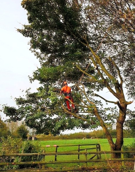 Small Oak Tree Removal.