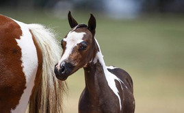 Mares in foal for 2021