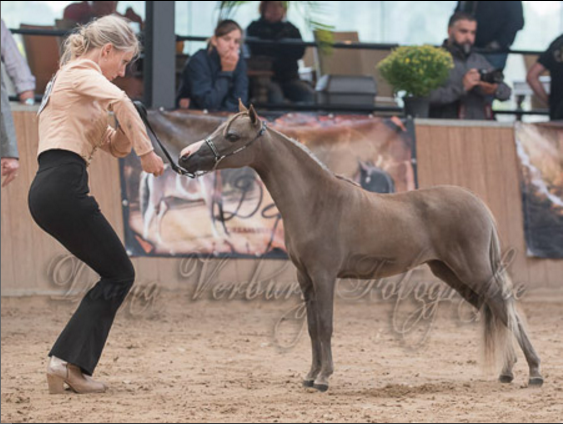 "Moritzbergs Coin did great. She now is a European CHampion in Open Junior Mares under 30"". She is amazing!!"