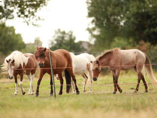 All our mares have been ultrasounded in foal!