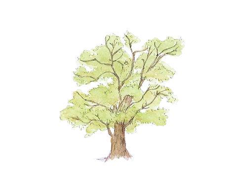 OakTreeWatercolor.jpg