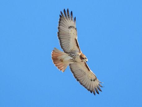 14 Red-tailed Hawk Gig Palileo.jpeg