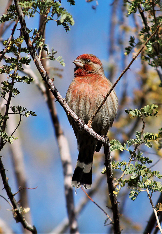 15 House Finch by Renee Grayson.jpg