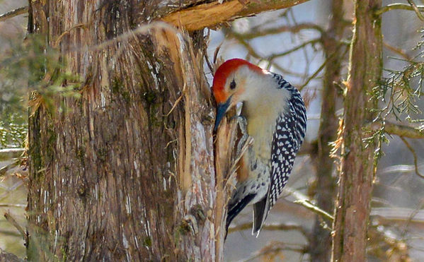 3 Red-bellied Woodpecker caching Deborah