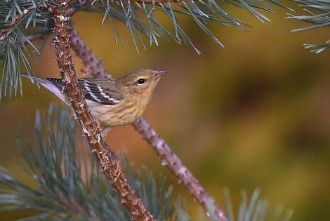 5 Blackpoll Warbler fall plumage Deborah