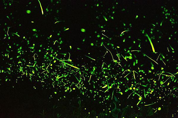 7 Green flashing fireflies Pete Mauney .
