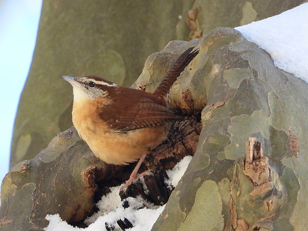 Carolina Wren by Gig Palileo.jpeg