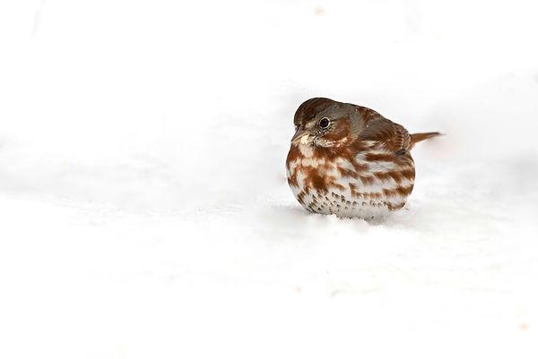 2 Fox Sparrow Snow - Deborah E Bifulco.j