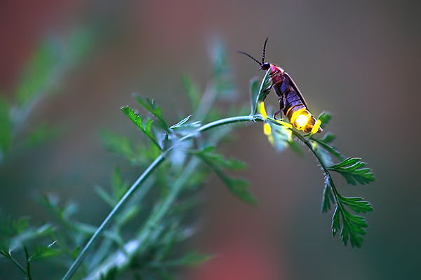 4 Signaling female firefly Radim Schreib