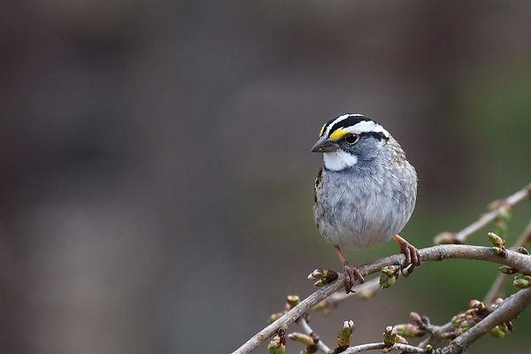 6 White-throated Sparrow - Deborah E Bif