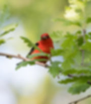 3 Scarlet Tanager Male (spring plumage)