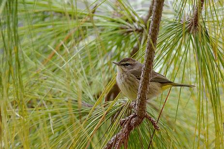 8 Pine Warbler fall plumage Deborah E Bi