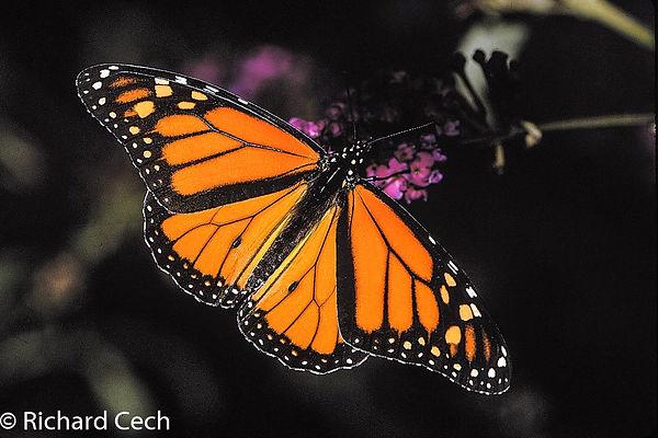 Monarch butterfly Richard Cech.jpg