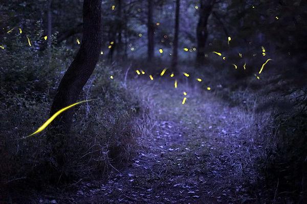 3 Yellow flashing fireflies Radim Schrei