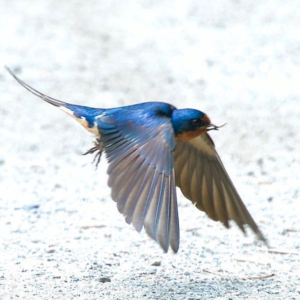 21 Barn Swallow in flight Dr Barry Pinch