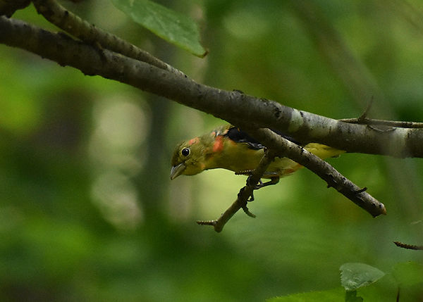 4 Scarlet Tanager male ( fall plumage) J
