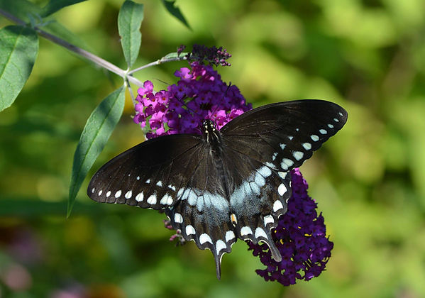10 Spicebush Swallowtail Deborah Bifulco